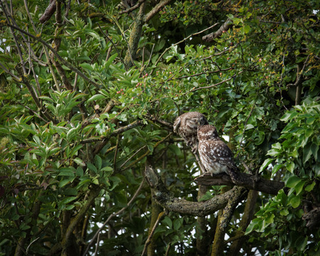 preening: Pair of wild little owls preening each other (Athene noctua) Stock Photo