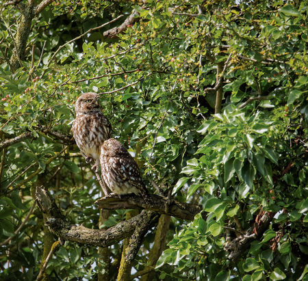 preen: Pair of wild little owls with young owl looking at adult (Athene noctua) Stock Photo