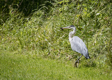vole: 1 Grey Heron set Catching and eating mouse or vole (Ardea cinerea)