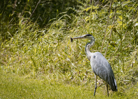 2 Grey Heron set Catching and eating mouse or vole (Ardea cinerea) 版權商用圖片