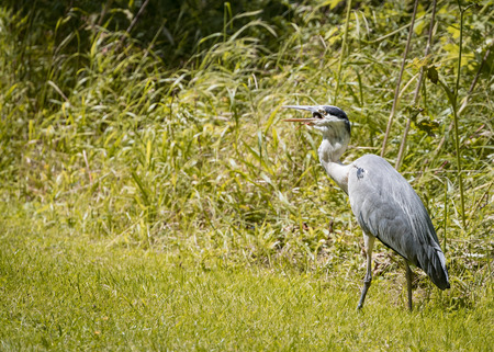 vole: 4 Grey Heron set Catching and eating mouse or vole (Ardea cinerea) Stock Photo