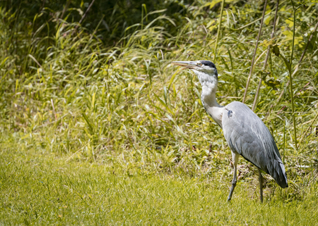 cinerea: 6 Grey Heron set Catching and eating mouse or vole (Ardea cinerea)