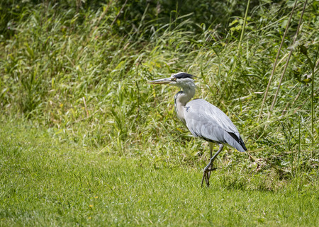 Grey Heron walking on bank (Ardea cinerea) 版權商用圖片