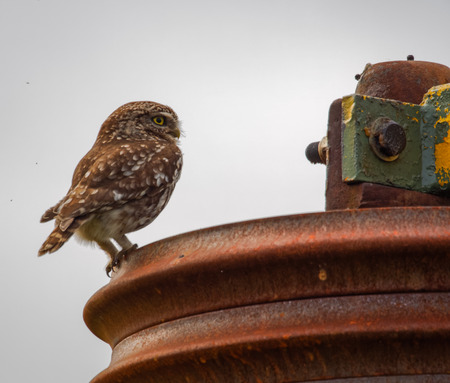 wild little owl sitting on farm equipment (Athene noctua)