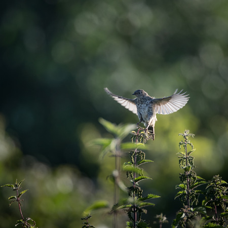 Skylark starts to take off to flight from nettle (Alauda arvensis) 版權商用圖片