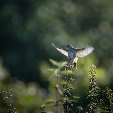arvensis: Skylark starts to take off to flight from nettle (Alauda arvensis) Stock Photo