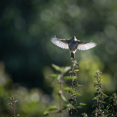 take off: Skylark take off to flight from nettle (Alauda arvensis)