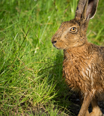 Brown Hare on path in grass wet from bathing in puddle (Lepus europaeus) 版權商用圖片