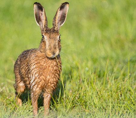 Brown Hare in field,eating grass, wet from bathing in puddle (Lepus europaeus) 版權商用圖片