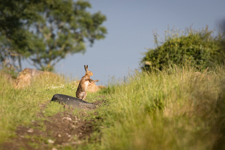 Brown Hare on path, shadow boxing,wet from bathing in puddle (Lepus europaeus)