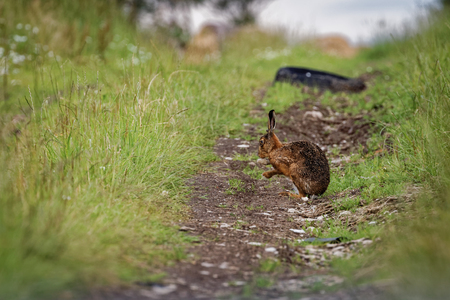 Brown Hare on path, cleaning large ears, wet from bathing in puddle (Lepus europaeus) 2 版權商用圖片