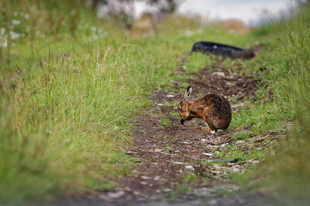 Brown Hare on path, cleaning large ears, wet from bathing in puddle (Lepus europaeus) 版權商用圖片