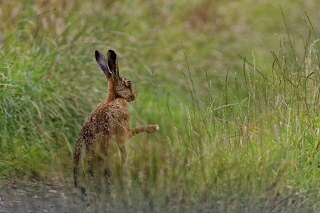 Brown Hare in meadow, shadow boxing, wet from bathing in puddle (Lepus europaeus)