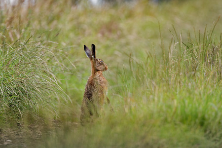 Brown Hare in grass alert on hind legs wet from bathing in puddle (Lepus europaeus)