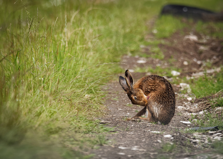 Brown Hare on path, cleaning with tongue wet from bathing in puddle (Lepus europaeus)