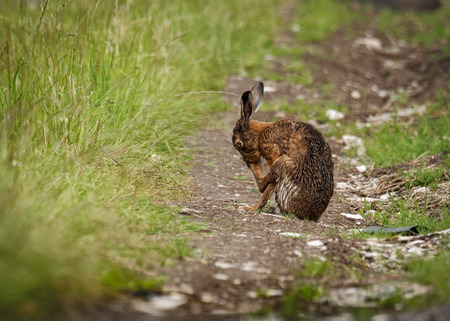 Brown Hare with legs crossed, cleaning claws  (Lepus europaeus)