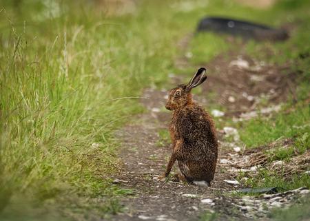european rabbit: Brown Hare, Lepus europaeus, alert, animal, brown, clean, crop, cute, ears, european, eye, face, field, grass, hare, jackrabbit, land, landscape, light, looking, meadow, morning, nature, old, outdoors, plant, portrait, rabbit, sitting, sunrise, washed, wa Stock Photo