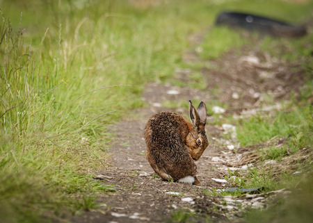 Brown Hare on path, wet from bathing in puddle looking forward (Lepus europaeus)