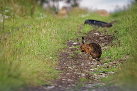 Brown Hare on path, cleaning large ears, wet from bathing in puddle (Lepus europaeus) 1