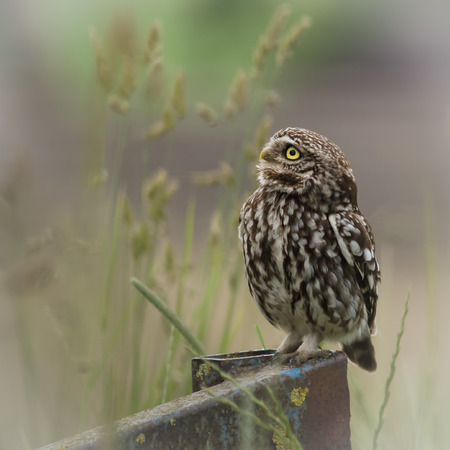 wild little owl sat on edge of farm equipment.(Athene noctua)