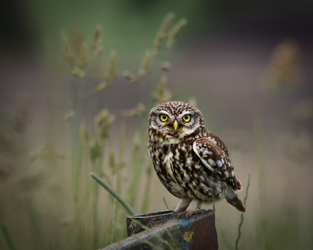 wild little owl sat on edge of farm equipment, looking forward.(Athene noctua) 版權商用圖片