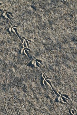vogelspuren: Tier  Vogel Fu�abdruck im Sand