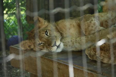 lion cub: Lion Cub Stock Photo