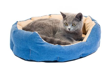 British cat in denim sun bed