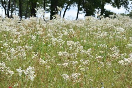 白い花のフィールド
