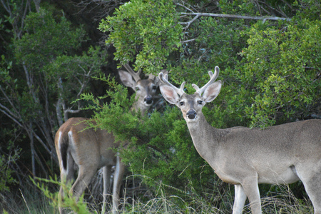 Close up of a white tail buck deer in velvet Stock Photo
