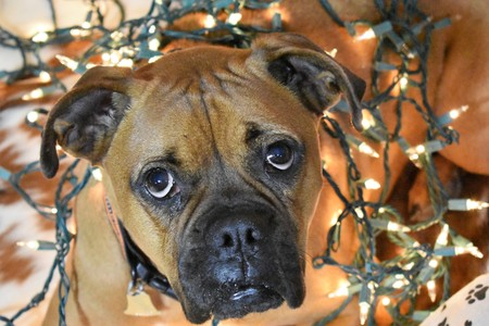 Boxer breed dog wrapped in lights for Christmas portrait