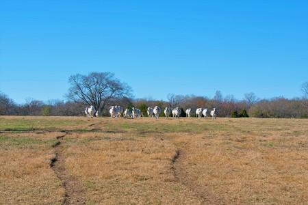 Herd of Brahman Cows