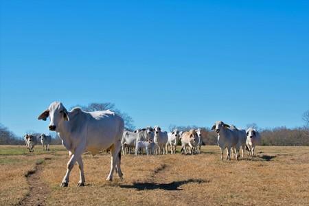 Herd of Brahma Cows