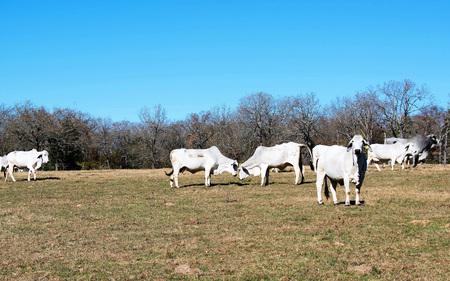 Brahma Cows Fighting Stock Photo