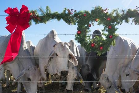 Christmas portrait of Brahma cows