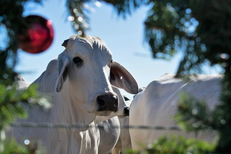 Christmas portrait of Brahma cows