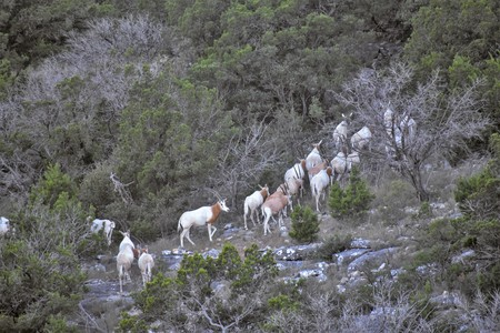 Scimitar Oryx Herd Walking up a Mountain