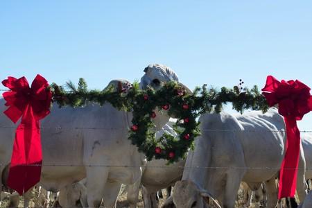 Brahma Cow Christmas Portrait Stock Photo