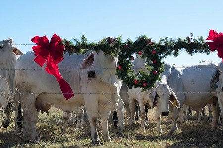 Brahma Cow Christmas Portrait Stock Photo