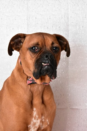 boxer breed dog wearing a pink bow-tie for Valentine's Day portraits