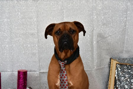boxer breed dog wearing a tie for Valentine's Day portraits