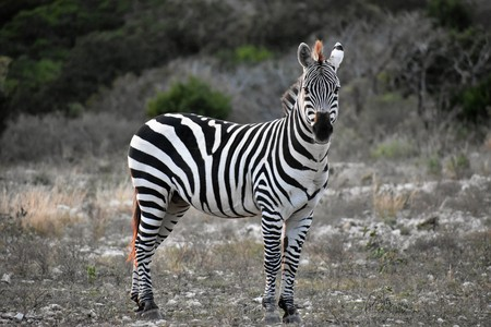 Zebra at sunset in the wild