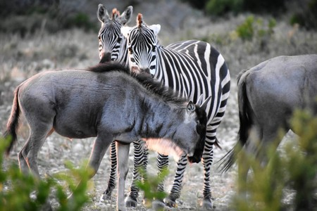 Zebra and Wildebeest in the wild at sunset Stock Photo