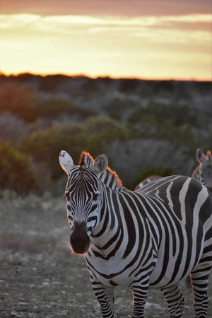 zebra in the wild at sunset