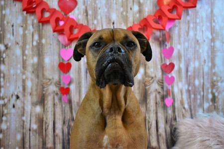 portrait of a Boxer breed dog for Valentines Day