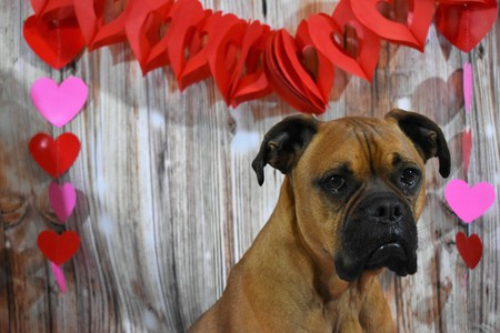 Valentines day portrait of a boxer breed dog