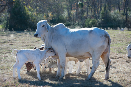 Brahma Cow and Calf Close Up