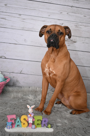 Boxer breed dog Easter portrait Stock Photo