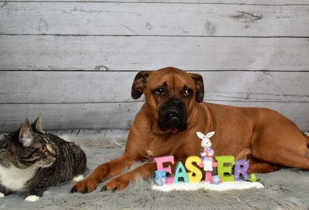 Easter portrait of a Tabby cat and a Boxer breed dog