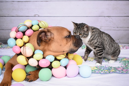 Easter portrait of a boxer breed dog and a tabby manx cat Foto de archivo